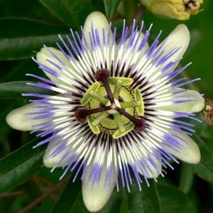 Passion_Flower_