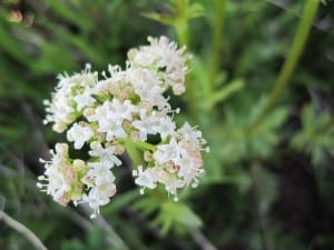 valeriana-occidentalis