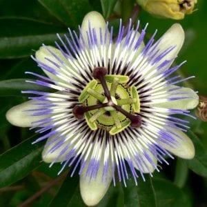 passiflora-incarnata-es-ansiolitica-sedante-tranquilizante