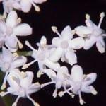 Sambucus_nigra