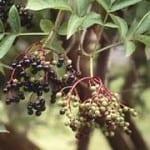 Sambucus_nigra.