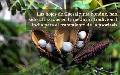 Caesalpinia bonduc