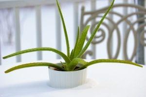 Aloe vera para las úlceras por presión