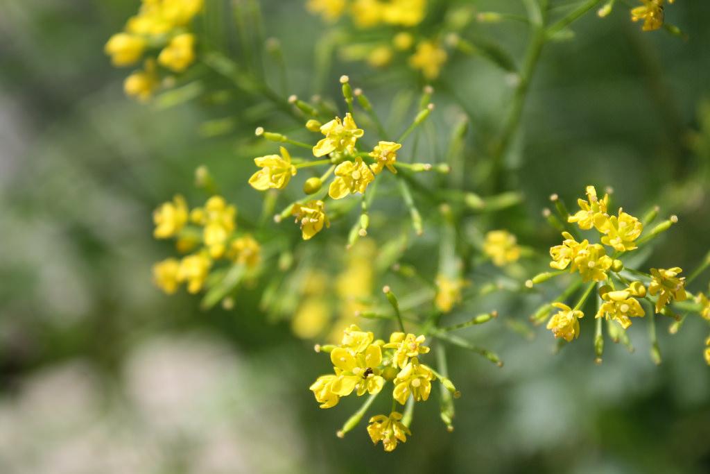 Mostaza negra (Brassica nigra)
