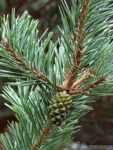 conoce los beneficios del pino albar
