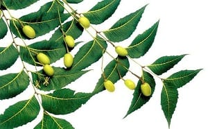 Azadiractha (Neem) Beneficios para la salud