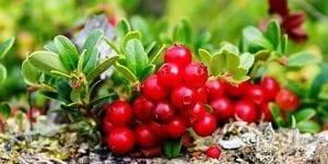 Propiedades medicinales de la Gayuba (Arctostaphylos uva-ursi)