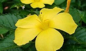 Damiana (Turnera diffusa) Beneficios para la salud
